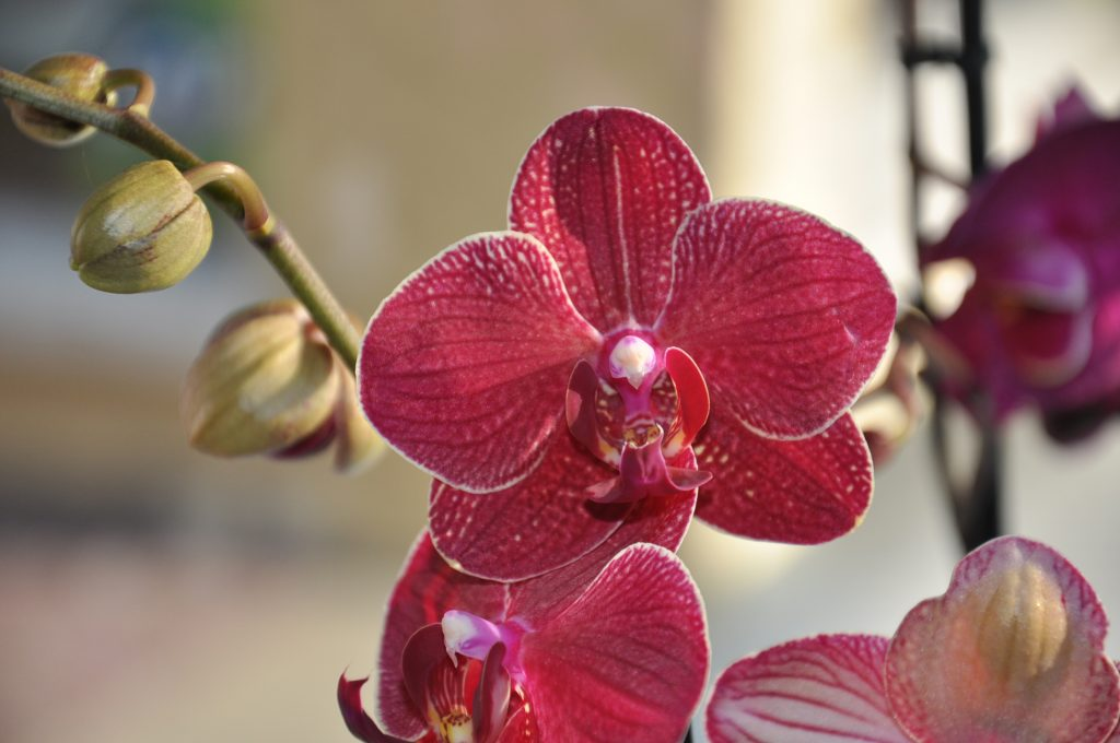 orchid e phala nopsis chlorophylles fleurs bourg saint maurice. Black Bedroom Furniture Sets. Home Design Ideas